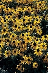 Rudbeckia fulgida - Orange Coneflower